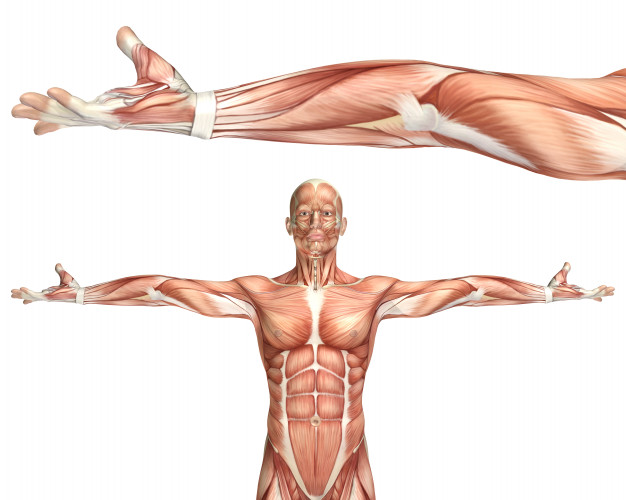 Biomecanica muscular