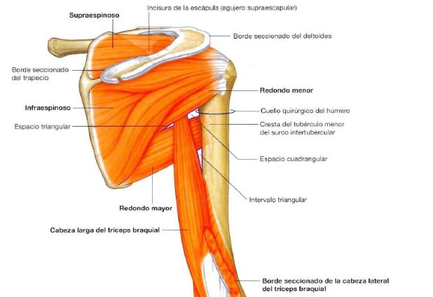 articulaçōes do ombro