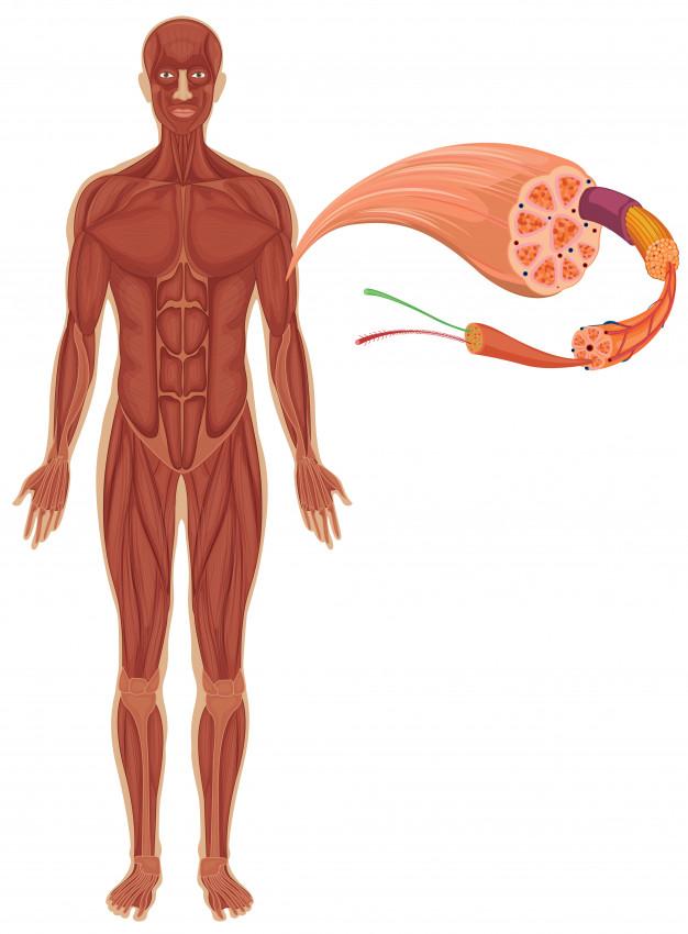 corpo humano mostrando o sistema muscular e fibra muscular com sarcômeros.